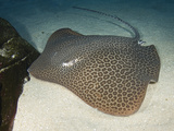 Leopard Whipray (Himantura Undulata)  a Large Indo-Pacific Stingray