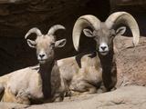 Desert Bighorn Sheep Ram and Ewe