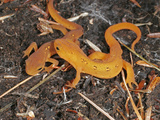 Red Efts (Notophthalmus Viridescens)  the Terrestrial Phase of the Eastern Newt  Eastern USA