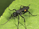 Parasitic Wood Wasp (Orussus)  New Hampshire  USA