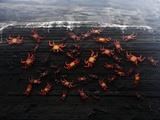 Sally Lightfoot Crabs (Grapsus Grapsus) on Rock Face  Galapagos