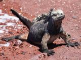 Galapagos Marine Iguana (Amblyrhynchus Cristatus Mertensi)  Rabida Island  Galapagos