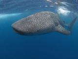 Whale Shark (Rhincodon Typus)  Gulf of Mexico  Louisiana  USA