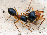 Sugar Ants (Camponotus Nigriceps) Transporting Nestmate