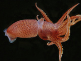 Bioluminescent Cock-Eye Squid (Histioteuthis Heteropsis)