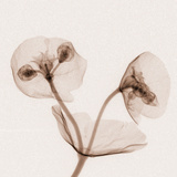 X-Ray of Euphorbia Flowers