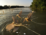 Male Long-Tailed Mayflies Hatch the First Females Appear on the Water Surface