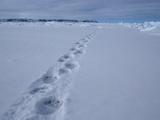 Polar Bear (Ursus Maritimus) Tracks in the Snow
