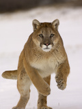 Cougar (Felis Concolor) Running in Snow  USA