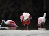 Roseate Spoonbill (Platalea Ajaja) Shaking Water Off Bill  Florida  USA
