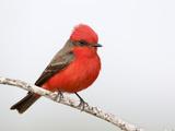 Vermilion Flycatcher Male (Pyrocephalus Rubinus)  Laredo  Texas  USA