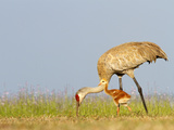 Sandhill Crane with Chick (Grus Canadensis)  Florida  USA