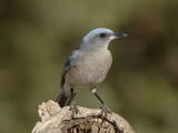 Mexican Jay (Aphelocoma Ultramarina)  Arizona  USA