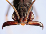 Close Up of an Ant Head Showing the Compound Eyes  Antenna  and Mouthparts (Odontomachus)