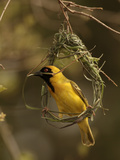 Masked Weaver (Ploceus Velatus) Male Weaving its Nest  Kruger National Park  South Africa