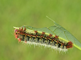 Silkmoth Caterpillar  Fifth Instar (Copaxa Escalantei)  Costa Rica