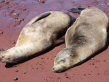 Galapagos Sea Lions (Zalophus Wollebacki) Resting on Red Sand Beach  Rabida  Galapagos Islands