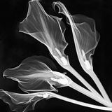X-Ray of Lily Flowers