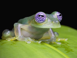 Ghost Glass Frog (Centrolenella Ilex)  Costa Rica