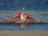 Roseate Spoonbill (Platalea Ajaja) Flapping During Bath  Tampa Bay  Florida  USA
