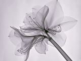 X-Ray of Amaryllis Flowers