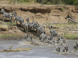 Burchells Zebras  Equus Burchelli  Crossing the Mara River with a Nile Crocodile