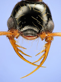 Head of the Ant (Thaumatomyrmex Atrox)