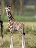 Three-Day Old Giraffe (Giraffa Camelopardalis)  Kenya  Africa