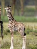 Three-Day Old Giraffe (Giraffa Camelopardalis)  Kenya  Africa