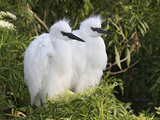 Snowy Egret Chicks (Egretta Thula)  Florida  USA