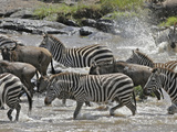 Wildebeests (Connochaetes Taurinus) and Zebras (Equus Burchelli) Crossing the Mara River  Kenya