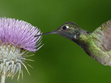 Magnificent Hummingbird (Eugenes Fulgens) Feeding on a Thistle Flower  Arizona  USA