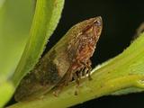 Leafhopper  Order Hemiptera  Family Cicadellidae  New Hampshire  USA