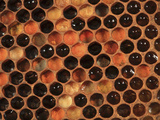 Honey Bee Hive Frame with Cells Filled with Honey and Pollen