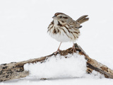 Song Sparrow on Small Log in Snow (Melospiza Melodia)  New York  USA