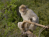 Barbary Macaque (Macaca Sylvanus)  Captive