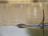 Beaver with Tail Raised to Slap the Water as a Warning of Danger (Castor Canadensis)  North America