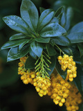 Barberry in Flower (Berberis Valdiviana)