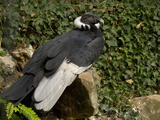 Andean Condor (Vultur Gryphus)  Captivity