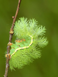 Silkmoth Caterpillar  Fourth Instar  in Defensive Posture (Automeris Randa)  Arizona  USA