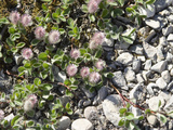 Arctic Willow (Salix Arctica) Rises Only About 2 Cm from the Ground