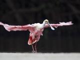 Roseate Spoonbill (Platalea Ajaja) Flapping Wings  Florida  USA