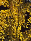 Ginkgo or Maidenhair Tree (Ginkgo Biloba) with Fall Leaves
