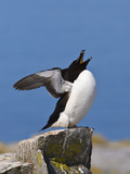Razorbill (Alca Torda) Stretching and Yawning  Machias Seal Island