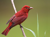 Summer Tanager Male (Piranga Rubra)  Alabama  USA