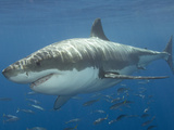 Great White Shark (Carcharodon Carcharias)  Pacific Ocean