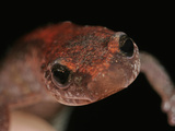 Red-Back Salamander Head (Plethodon Cinereus)  Eastern North America