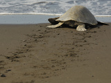 An Olive Ridley Sea Turtle (Lepidochelys Olivacea) Crawling to the Sea  Costa Rica