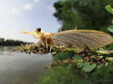 After Landing on Tisza River Bank the Male Long-Tailed Mayfly Starts to Undergoes its Last Molt