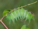African Luna Moth Caterpillar (Argema Mimosae)